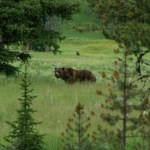 grizzly in field