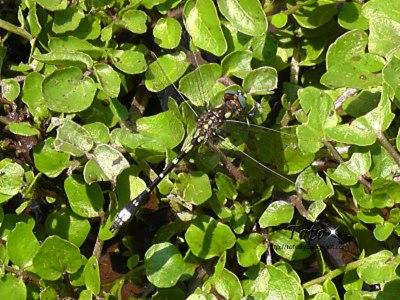 Dragonfly adulta