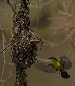 birding tody tyrant