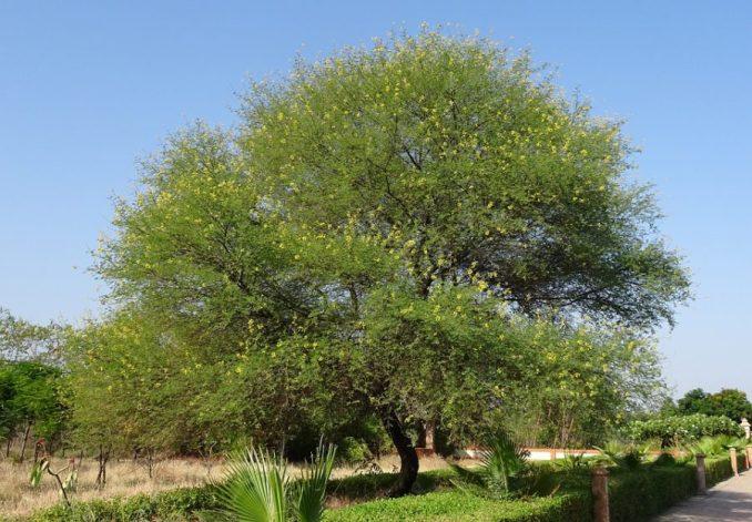 La gomme arabique en pleine croissance