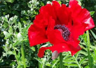 Giant, red poppy!
