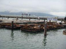 San Francisco Pier 39 mit den berühmten Sea lions (Seelöwen)