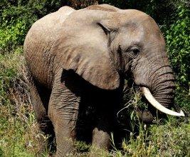 Elefanten in Tansania, Afrika