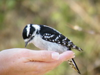 Feeding Chickadees at RBG