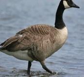 Canadian Geese, Burlington Wildlife