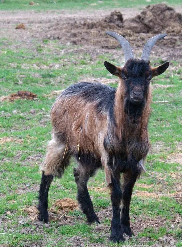 chèvre à annecy