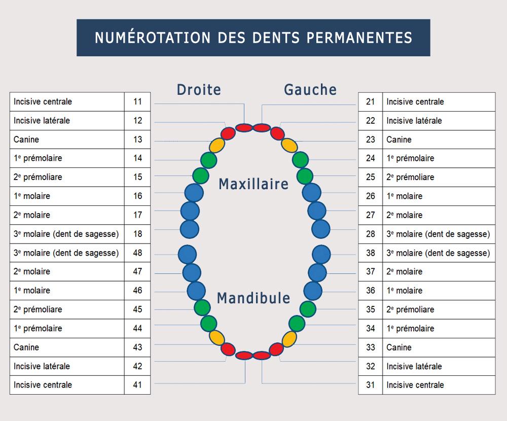 numerotation-dents