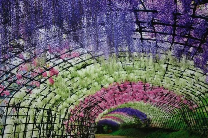 Wisteria Tunnel, Kawachi Fuji Garden (4)