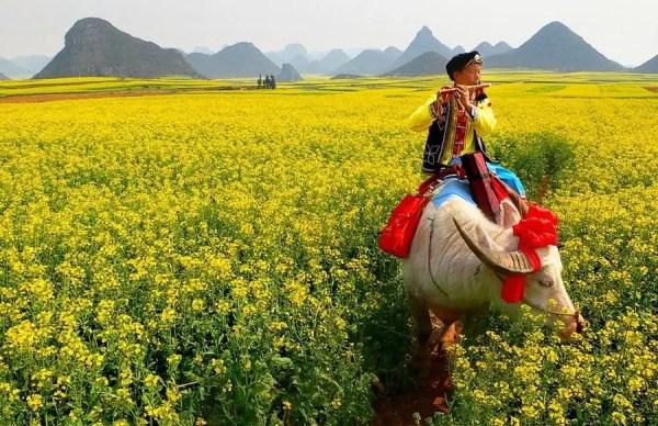 Luoping-fields flowers