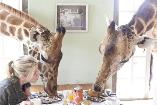 Giraffe Manor hotel giraffes dining