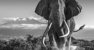 African elephant image by David Yarrow