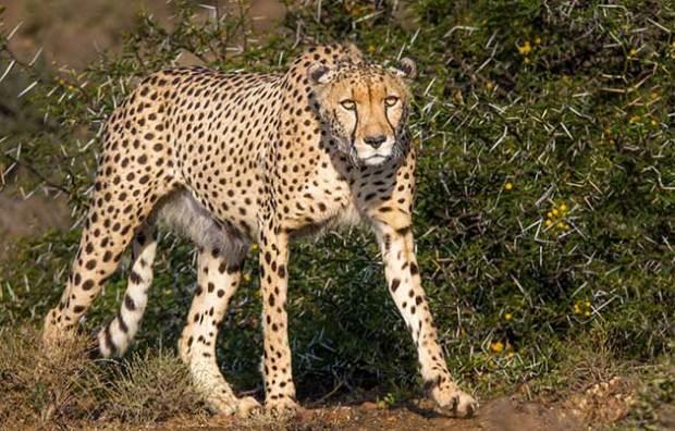 Male cheetah Ivory at Kuzuko