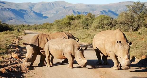Dehorned white rhino at Mount Camdeboo
