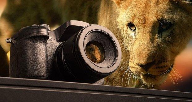 Lion staring at a camera