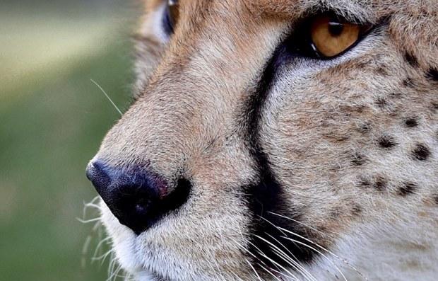 Close-up of a cheetah face
