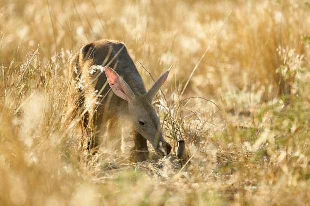 Aardvark at Tswalu Game Reserve