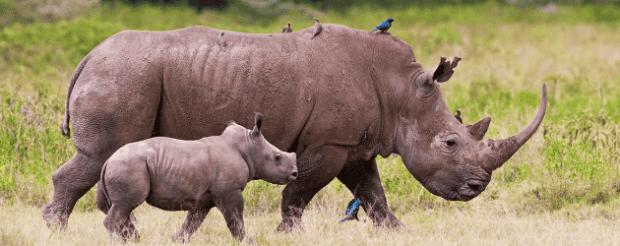 9-CONSERVATION-Awards-Rhino-Calf