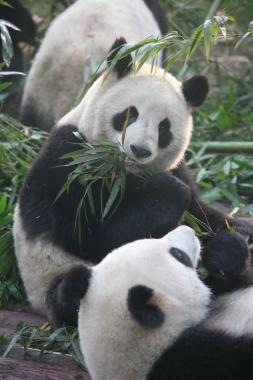 Giant Pandas in Chengdu Reserve Center