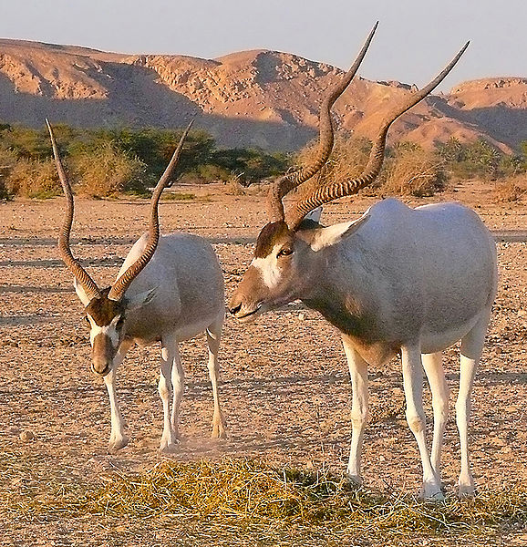Two Addax At Sunset In Yotvata. Image Mathknight