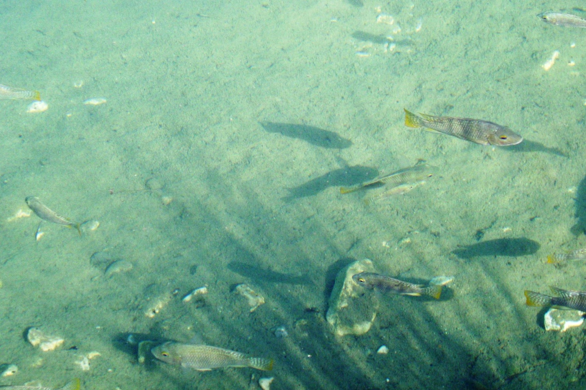 Fish in Ein Feshkha