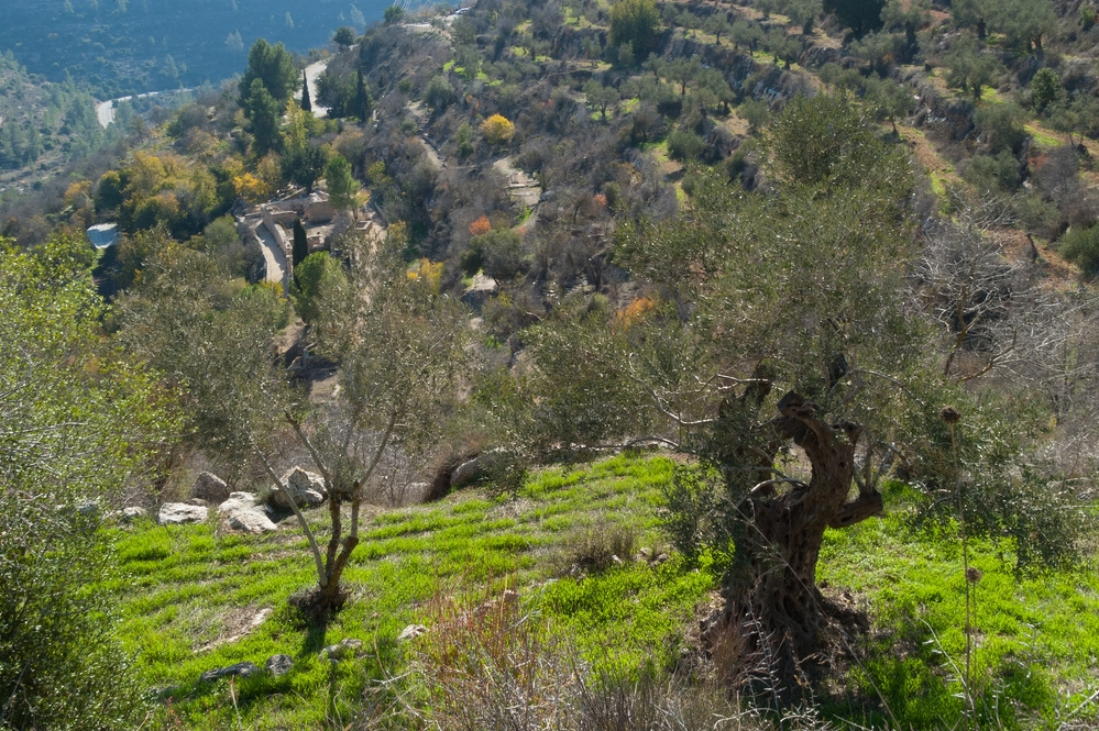 Olive groves in the Galilee. Image Flavio Grynszpan
