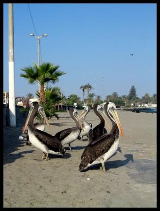 Pérou, Peru, Pelican, pelican, bird, plage, voyage, travel, ornithologie,Amerique du sud