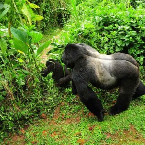 Bwindi Impenetrable National Park Gorillas