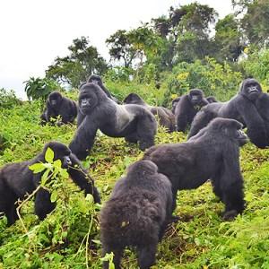 rwandagorillasafari