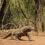 Un dragon de Komodo débarque à Touroparc !!
