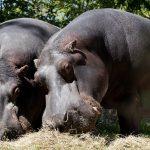 Journée de l'hippopotame