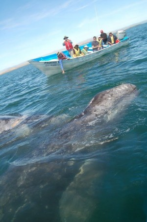 Grey Whale Tours Baja California Sur