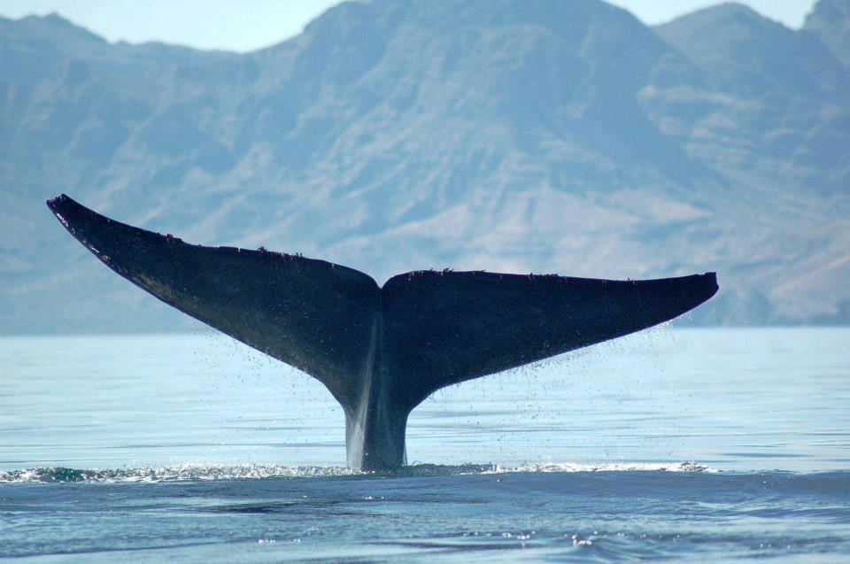 SEA OF CORTEZ WHALE FACTS – Loreto Sea and Land Tours