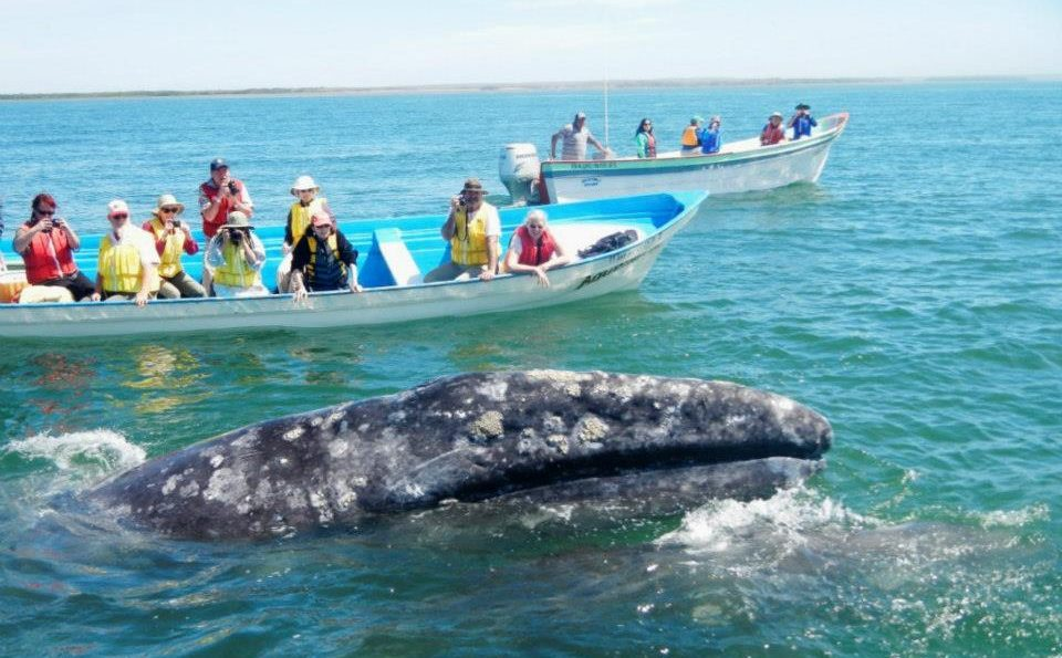 Grey Whale Watching Tours Magdalena Bay