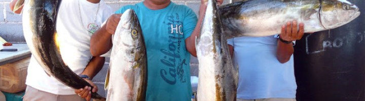 Yellow Tail Season January to May Loreto Baja California Sur