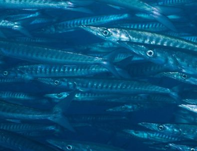 Diving-Sea-of-Cortez-Mexican-Barracuda.jpg