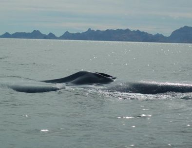 Fin-whale-1.jpg
