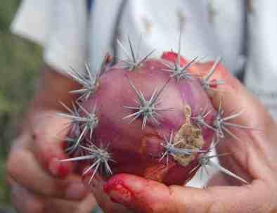 Fall Cactus fruit