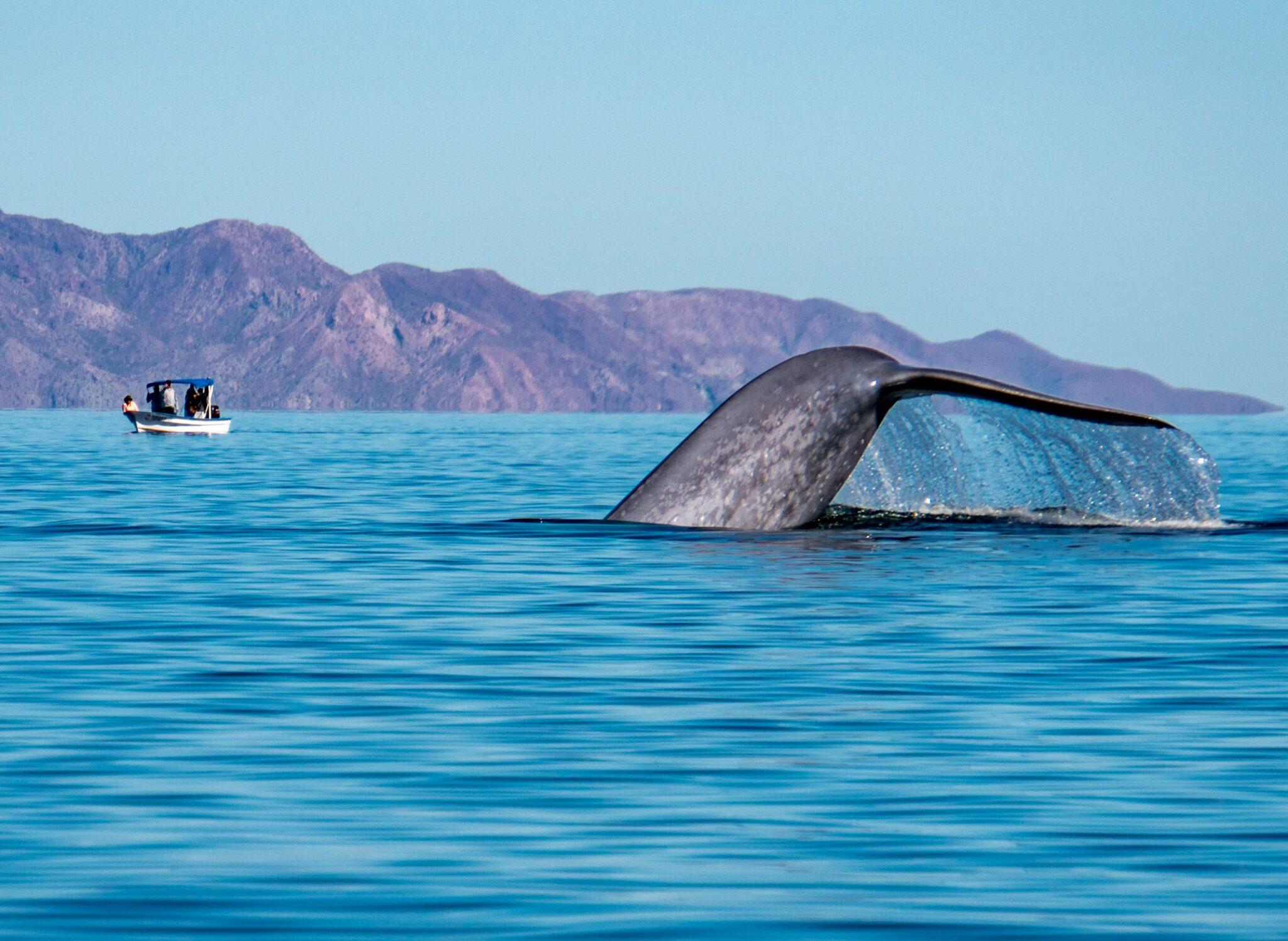 Blue Whale photo courtesy of Dana Jones