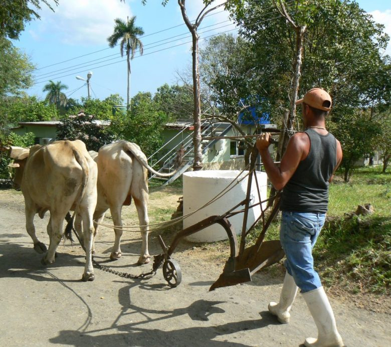 Animals in Cuba still working hard with people