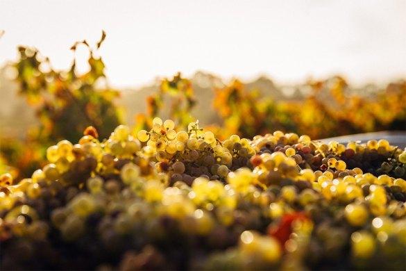 variedades de uva chardonnay