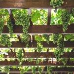 variedades de uva godello
