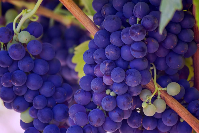 Resultado de imagen para uva cabernet sauvignon