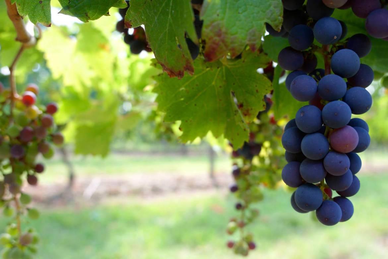 vareidades de uva tempranillo