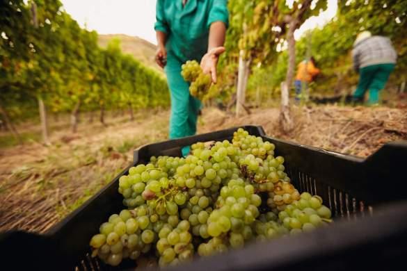 variedades de uva riesling