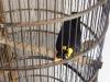 oiseau-parleur