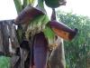 mekong-16-fleur-de-bananier