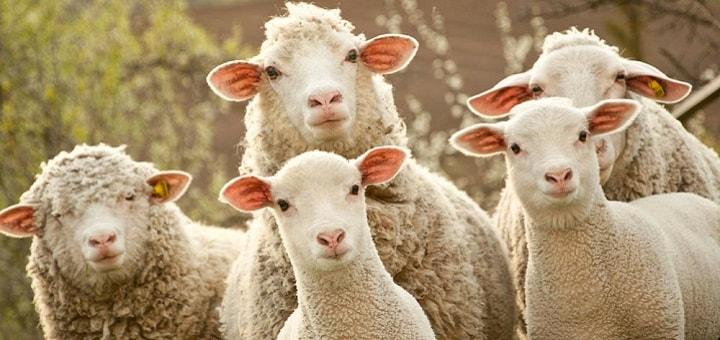 Sonnerie Moutons qui bêlent – Sonnerie Animaux Gratuite