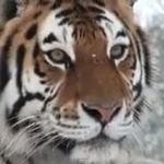 How Many Tigers Does It Take to Destroy a Snowman? – VIDEO