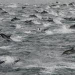 Where is This Seven-Mile Long Mega-Pod of More Than 100,000 Dolphins Going?