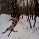 Pitbull vs. Tree: VIDEO
